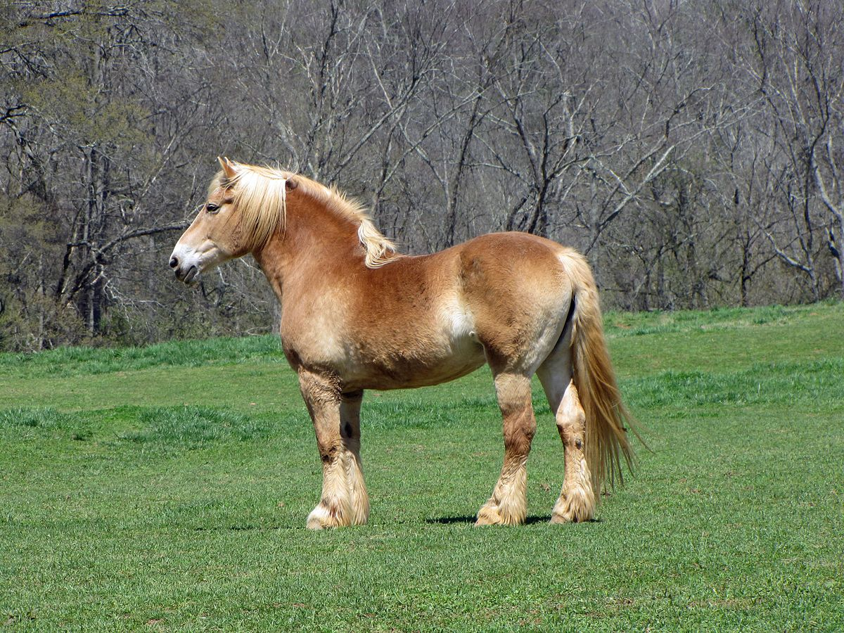 Quelle: http://commons.wikimedia.org/wiki/File:Belgian_draft_horse2.jpg#mediaviewer/File:Belgian_draft_horse2.jpg